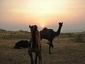 Glimpse of sunet at Pushkar Mela (Rajasthan).jpg