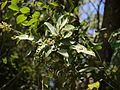 Glycosmis pentaphylla (8284265572).jpg