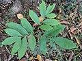 Glycosmis pentaphylla 11c.JPG