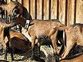 Goats in la Bourboule 2.jpg