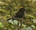 Gold-naped Finch - Eaglenest - India (34408988756).jpg