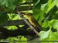Golden Oriole (Oriolus oriolus) (28288559460).jpg