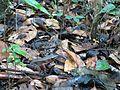 Golden frog camouflage Coorg.jpg