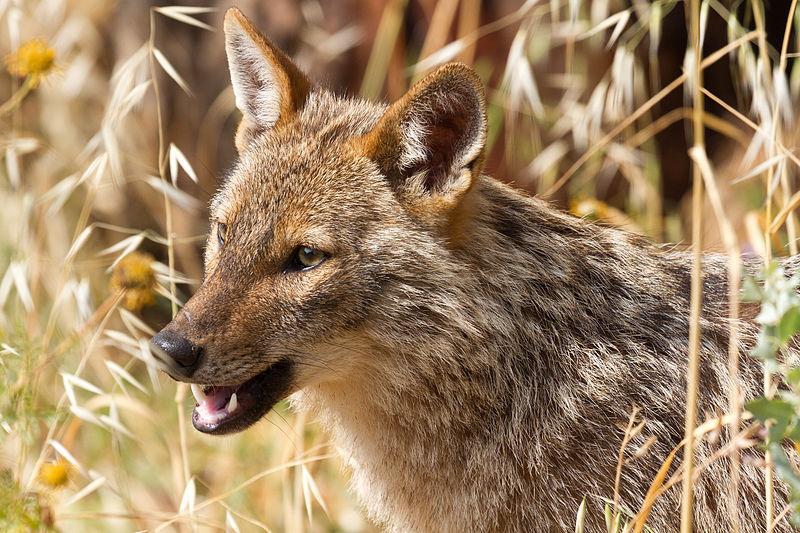 File:Golden jackal - portrait.jpg