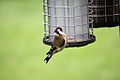 Goldfinch - April 2009 (3447864307).jpg