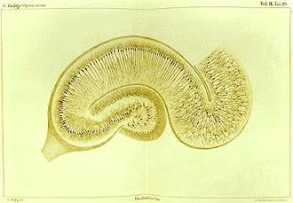 Camillo Golgi - Drawing by Camillo Golgi of a hippocampus stained with the silver nitrate method.