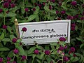 Gomphrena globosa from Lalbagh flower show Aug 2013 8108.JPG