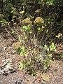 Gonospermum gomerae.jpg