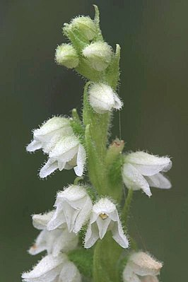 Dennenorchis(Goodyera repens)