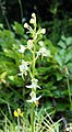 Grünliche-Waldhyazinthe Platanthera chlorantha.jpg