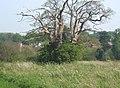 Grand old tree in meadow near Coddenham - geograph.org.uk - 789896.jpg