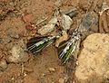 Graphium antiphates - Five-bar Swordtail 30.jpg