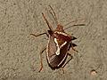 Grass Stink Bug (Veterna sp.) (12932307065).jpg