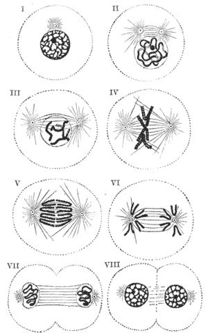Схема изменений, которые происходят в центросоме и в ядре клетки в процессе митотического деления.