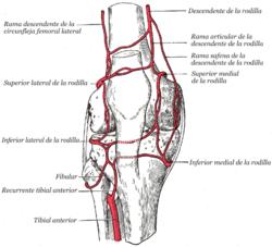 Arteria Superior Lateral De La Rodilla Wikipedia La