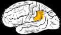 Gray726 supramarginal gyrus.png