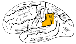 supramarginal gyrus lateral surface of left cerebral hemisphere viewed from the side