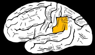gyrus supramarginalis