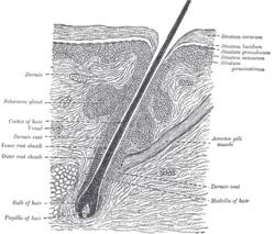 Hair Wikipedia