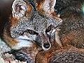 Gray Fox (26056404085).jpg