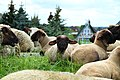 Grazing sheep on levee in Grünendeich, 3.jpg