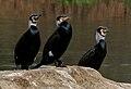 Great Cormorant (Phalacrocorax carbo) near Hodal W2 IMG 6424.jpg