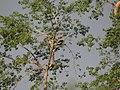Great Hornbill - Buceros bicornis DSC02692.jpg