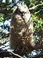 Great Horned Owl (16371952236).jpg