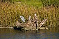 Great blue heron (30830452944).jpg