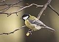 Great tit (32751024193).jpg