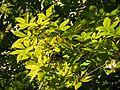 Green Ash - Flickr - treegrow (1).jpg