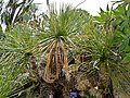 Green Desert Spoon (Dasylirion acrotrichum) (35754585175).jpg