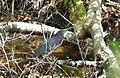 Green Heron. Butorides virescens (27316370429).jpg