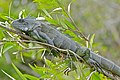 Green Iguana (Iguana iguana) (28688008034).jpg
