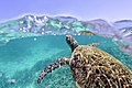 Green Sea Turtle, Ningaloo Reef.jpg