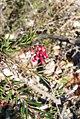 Grevillea . spinosa McGill. (AM AK291466-1).jpg