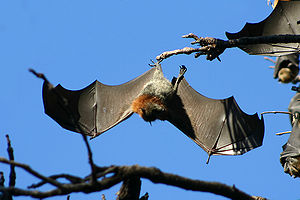 Grey-headed flying fox - Grey-headed flying-fox shows wingspan