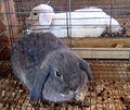 Grey & white bunnies (121695578).jpg