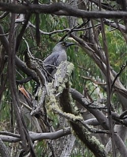 Grey Currawong.jpg