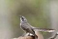 Grey Fantail (Rhipidura albiscapa) (23743464561).jpg