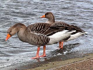 genus of birds
