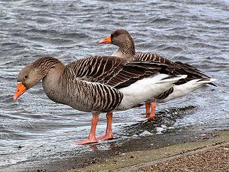 Anser (bird) - Greylag geese (pair), Anser anser