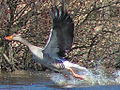 Greylag goose flying.jpg