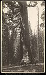 Grizzly Giant, Mariposa Big Trees 33 feet Diameter Salt Lake.jpg