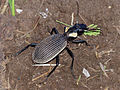 Ground Beetle (Anthia mitchelli) (13850817664).jpg