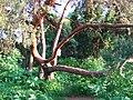 Gryshko Botanical Garden (May 2019) 05.jpg