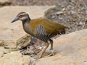 Rail (bird) - The Guam rail is an example of an island species that has been badly affected by introduced species.