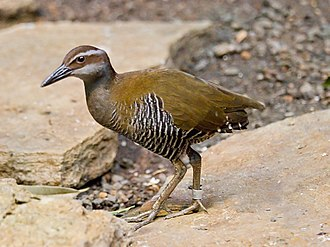 Guam rail - At the Cincinnati Zoo
