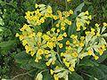 Gulden sleutelbloem (Primula veris) (1).jpg