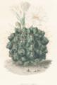 Gymnocalycium gibbosum Lem.png